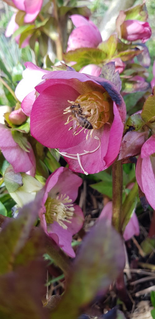 Pollen in Helleborusblüte